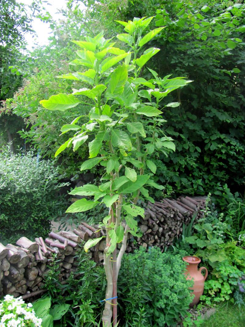 Engelstrompete Garten