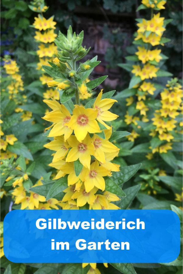 Gilbweiderich im Garten