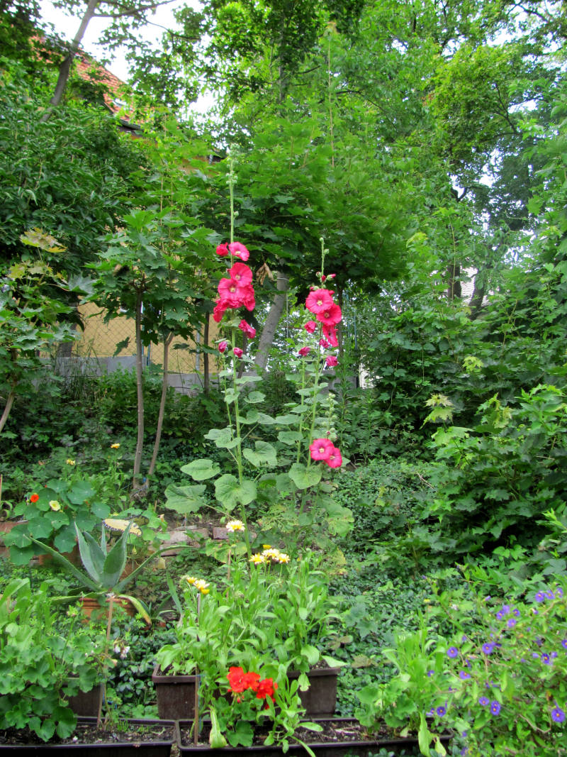 Stockrose Garten