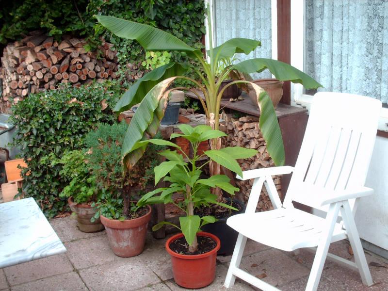 Kübelpflanze Terrasse