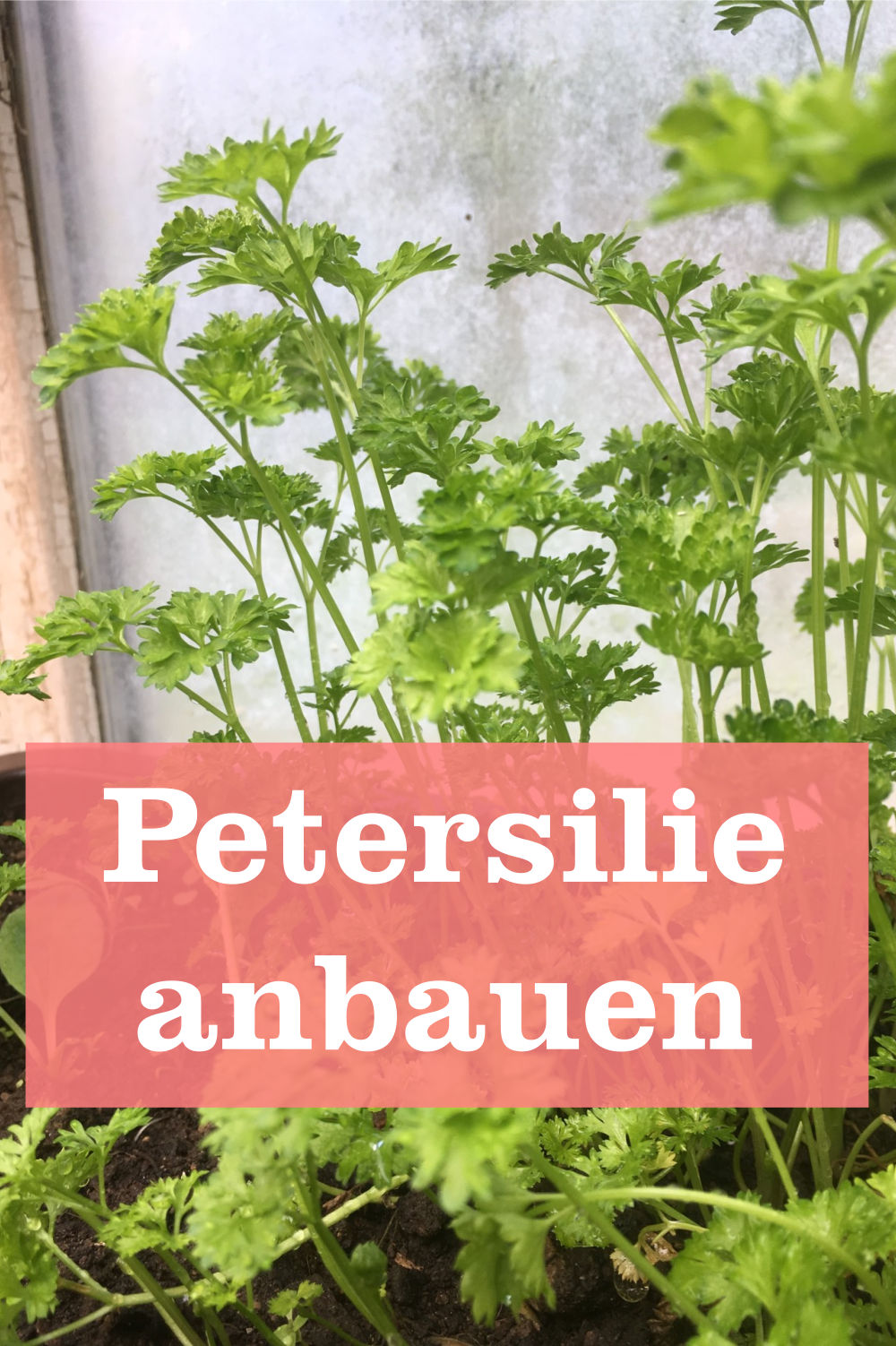Petersilie anbauen