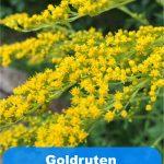 Goldruten Garten