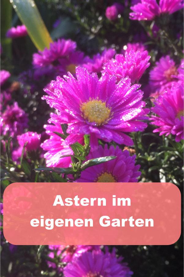 Astern im Garten