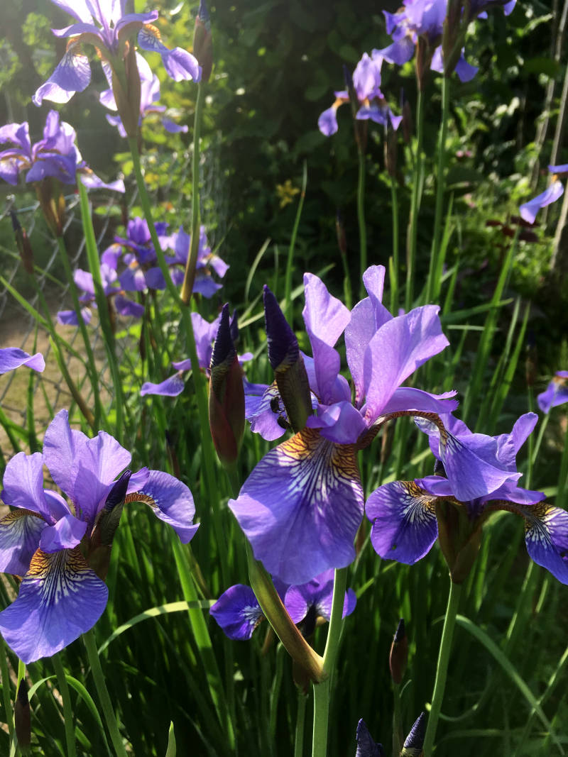 Lilien im Mai