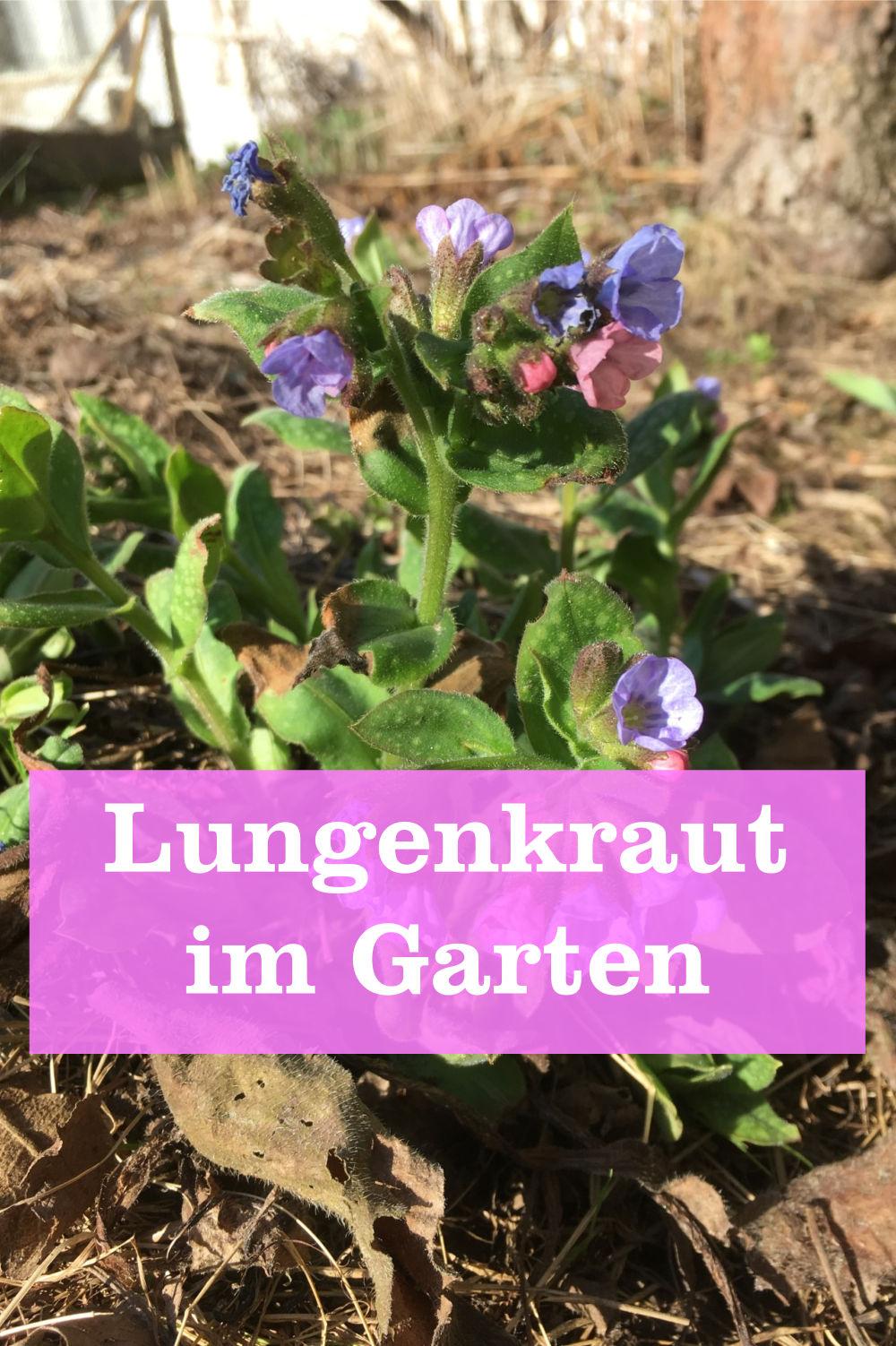 Lungenkraut im Garten