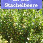 Mehltau an Stachelbeere