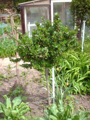 Mehltau an Stachelbeeren