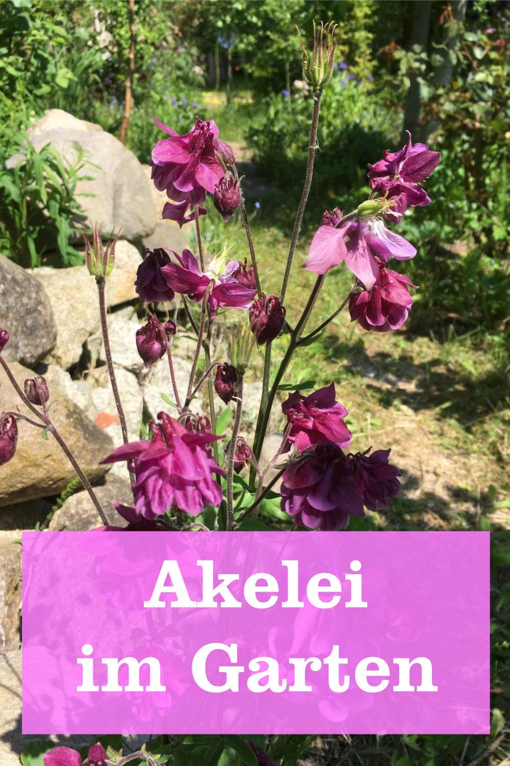 Akelei im Garten