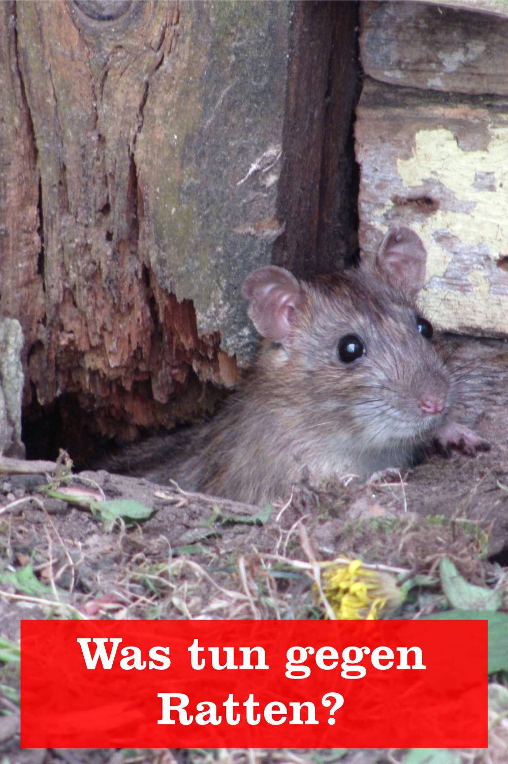 Mittel gegen Ratten