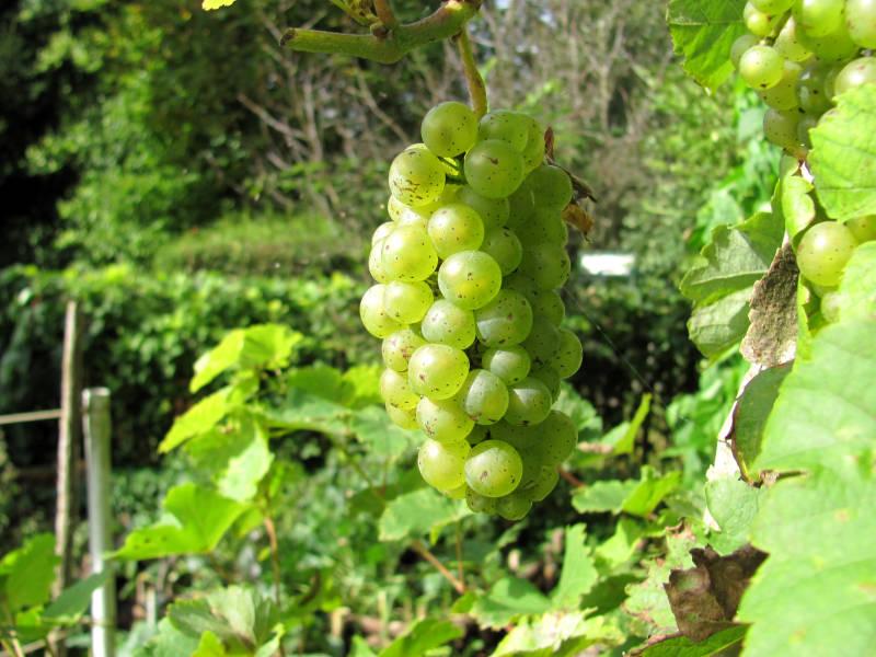 Weintrauben Garten
