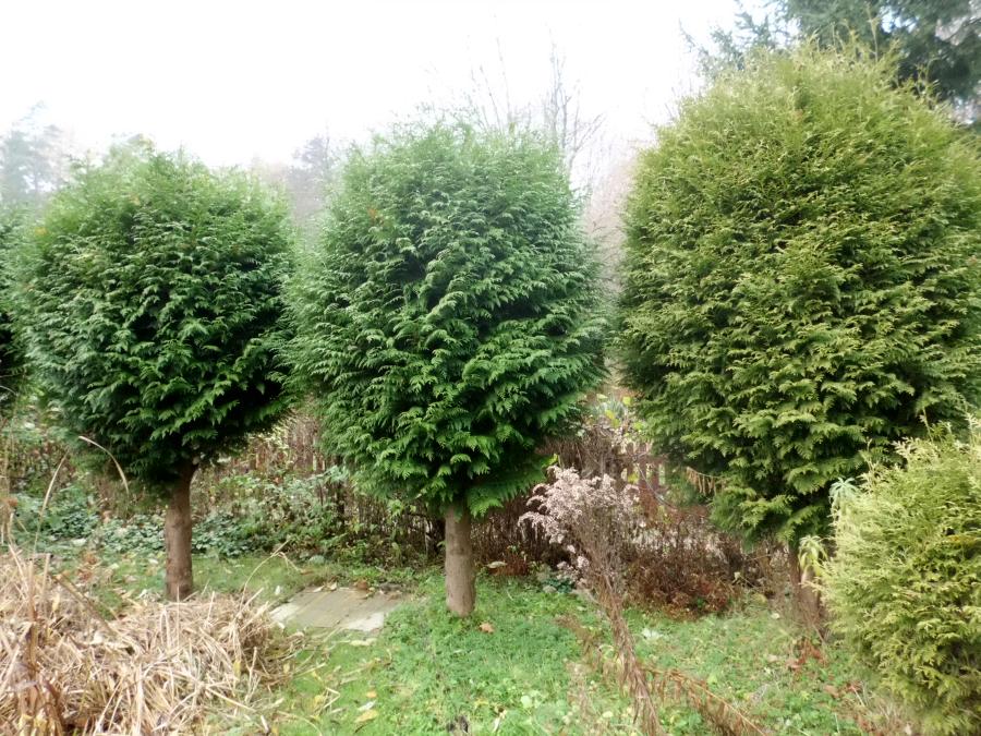 Unter die koniferen verbunden kann man die pflanzen nicht schädigen
