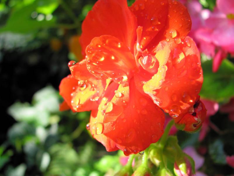 Blume für Blumenkasten