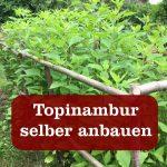 Topinambur anbauen