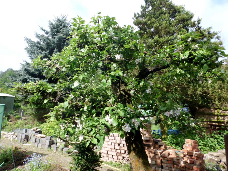 Apfelbaum Garten