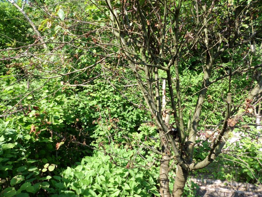 Kirschbaum kranke Blätter