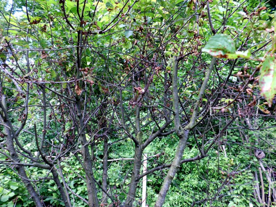 braune Flecken Kirschbaum