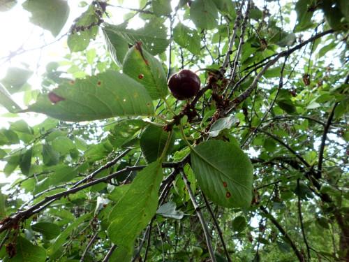 Braune Punkte am Kirschbaum