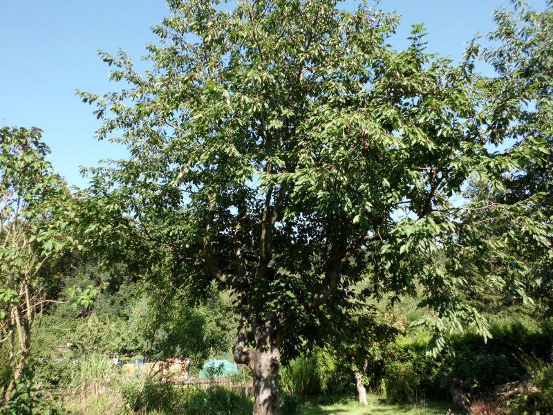 Kirschbaum im Garten