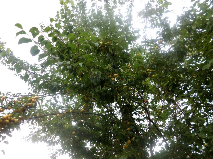pflaumenbaum fr chte sterben ab harzaustritt und gelbe flecken auf bl ttern gartenratgeber. Black Bedroom Furniture Sets. Home Design Ideas