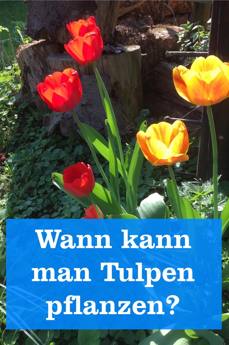 Tulpen pflanzen