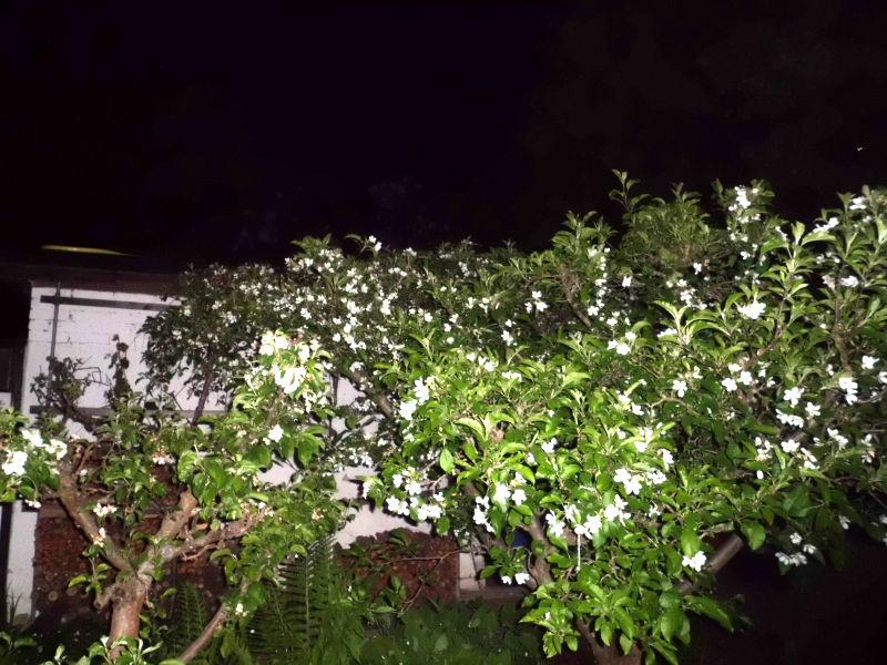 Apfelbaum in der Nacht