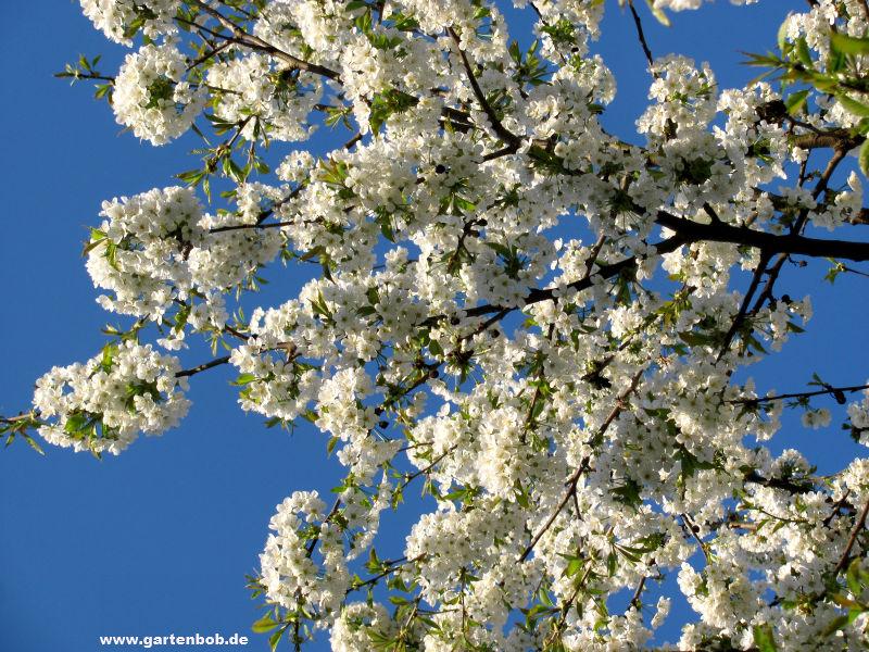 Blühende Kirsche