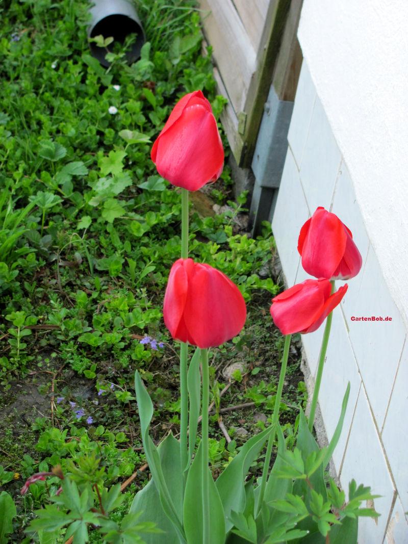 Erst wenn die Sonne aufgeht, öffnen sich auch die Blüten der Tulpen.