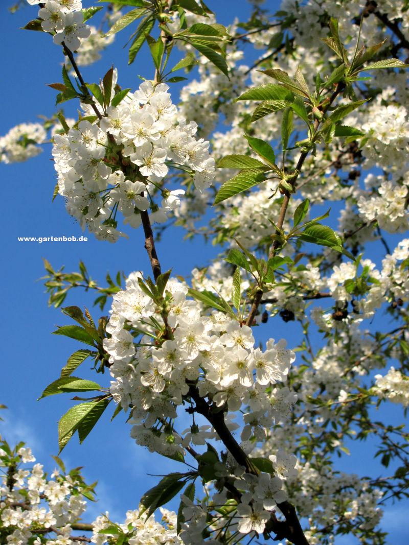 Kirschbaum blüht