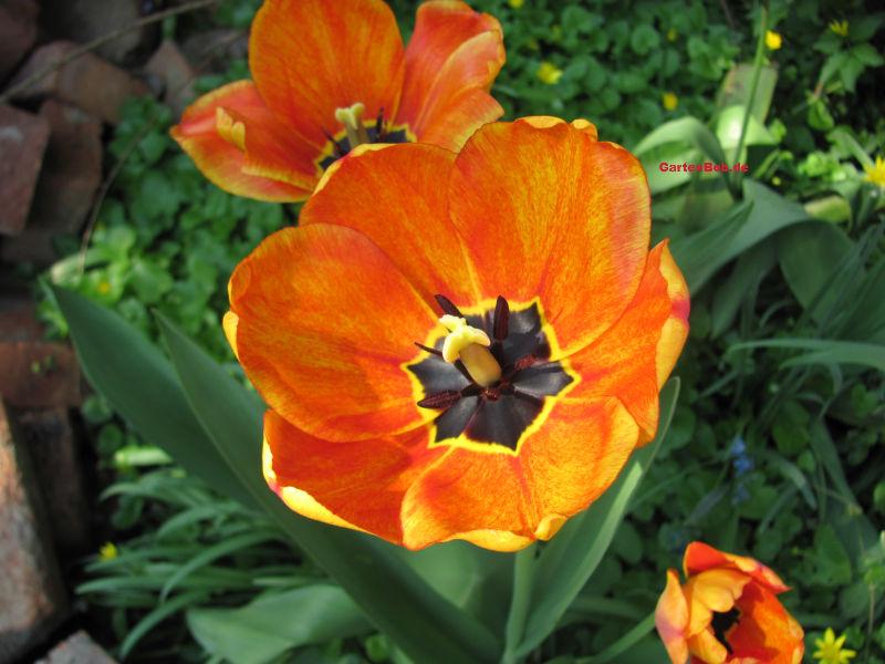 Orangene Tulpen mit einer gelben Mischung