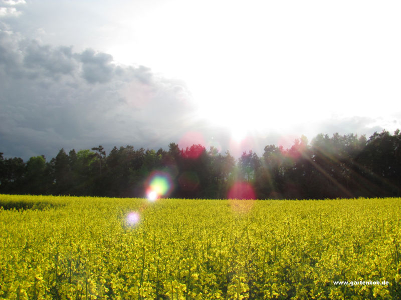 Rapsfeld Wald
