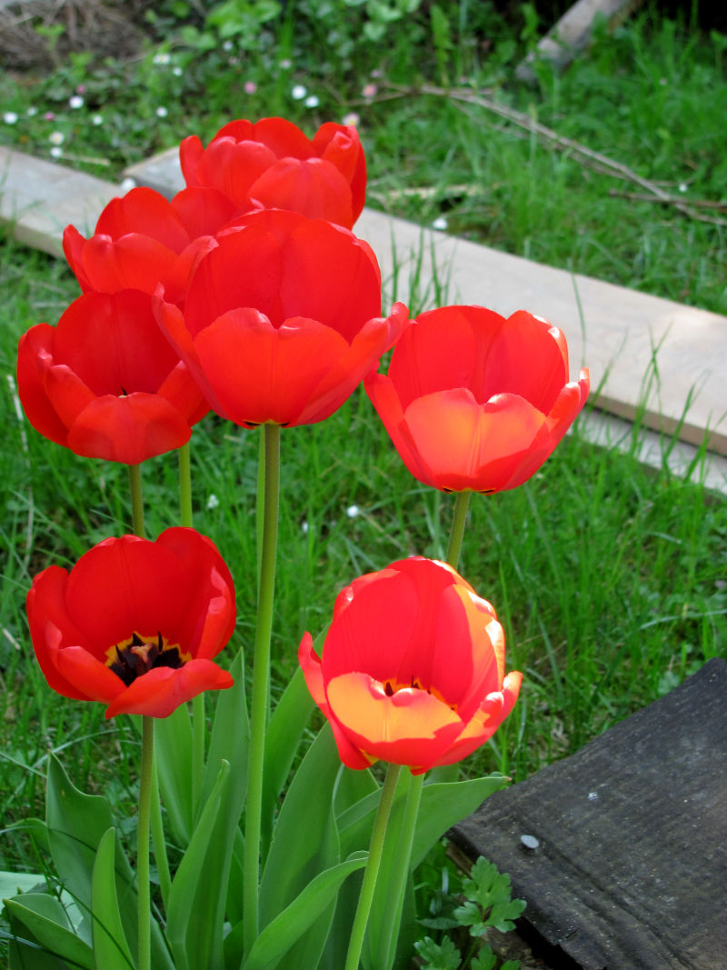 Tulpen Garten
