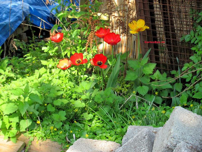 Tulpen lassen sich überall im Garten integrieren.