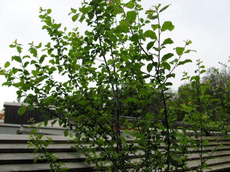 Obstbaum treibt nicht aus