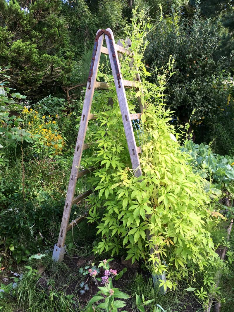 Rankhilfe aus Leiter