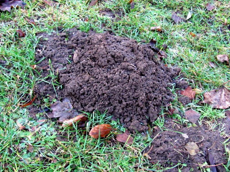 Viele Engerlinge im Boden