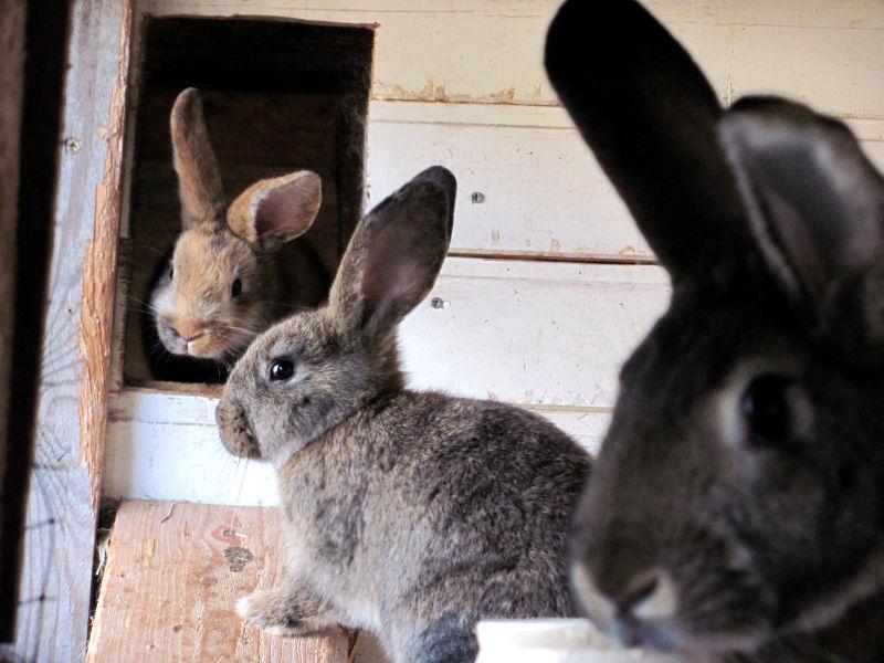 Glückliche Kaninchen mit viel Auslauf.