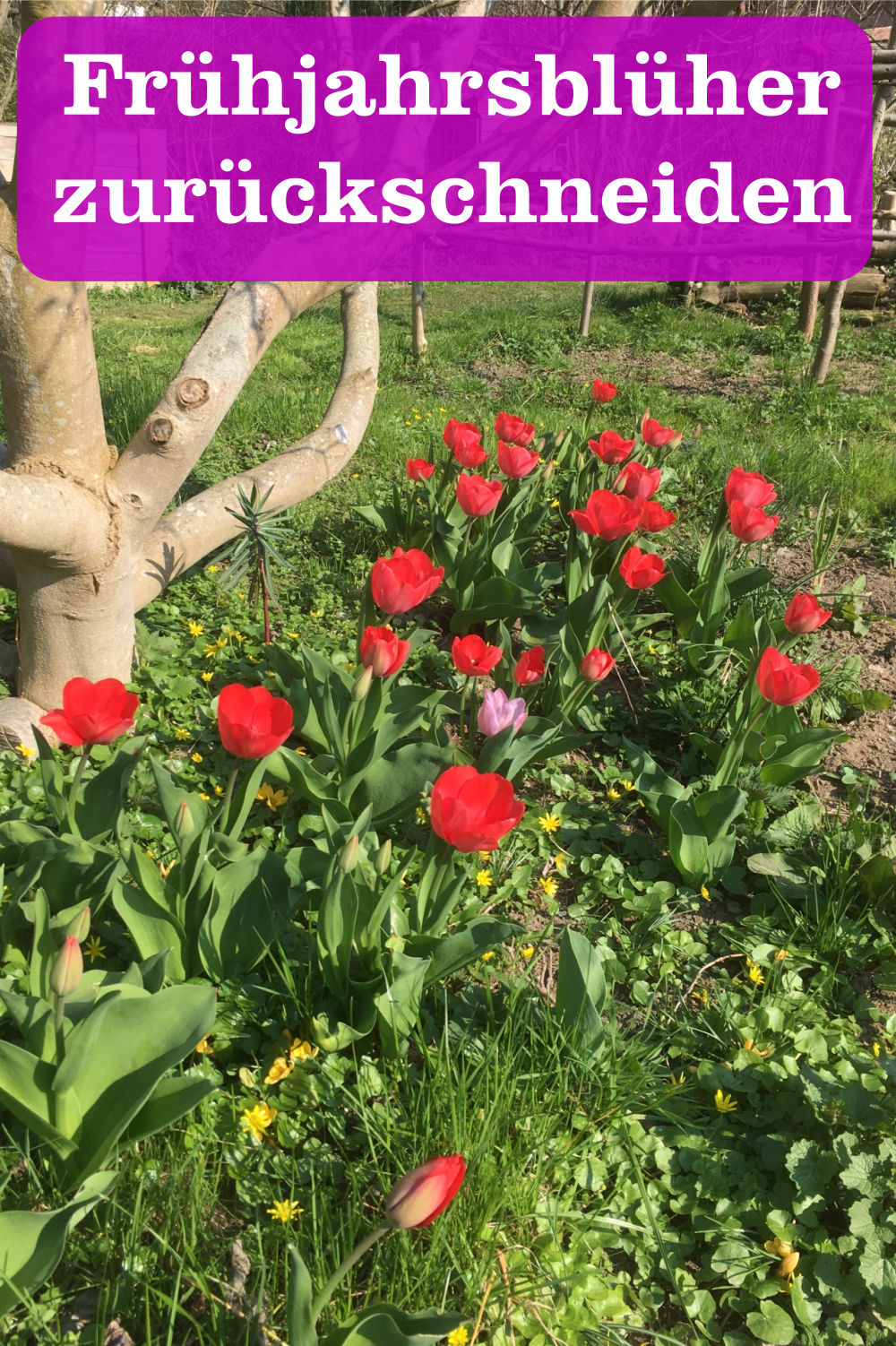 Frühjahrsblüher zurückschneiden