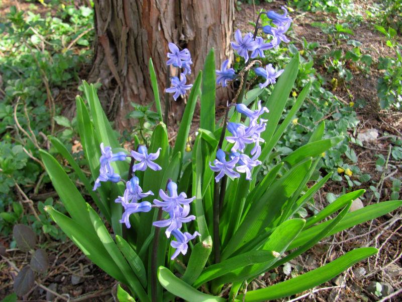 Verblühte Frühjahrsblüher 1