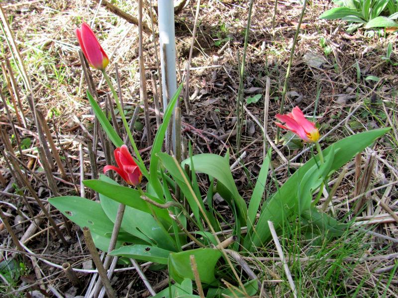 Verblühte Frühjahrsblüher 3