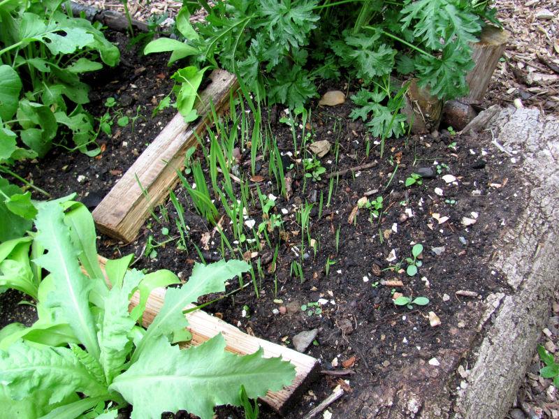 Kleine Gladiolen
