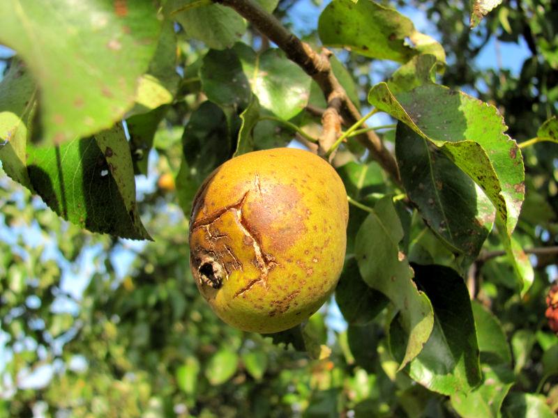 Obstbäume haben Schäden 1