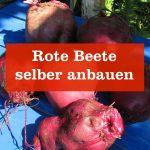 Rote Beete selber anbauen