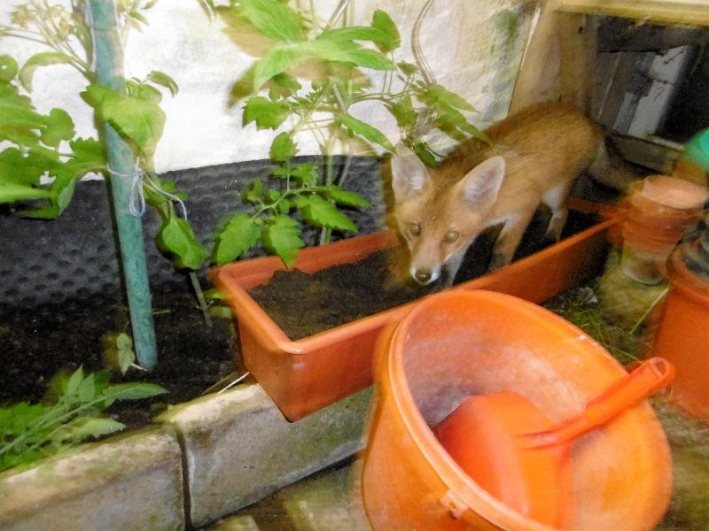 Der Fuchs im Garten 3