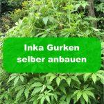 Inka Gurken anbauen