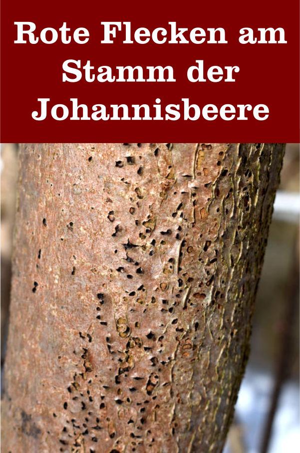 rote Flecken Stamm Johannisbeere