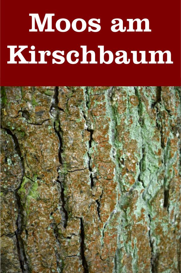 Moos am Kirschbaum