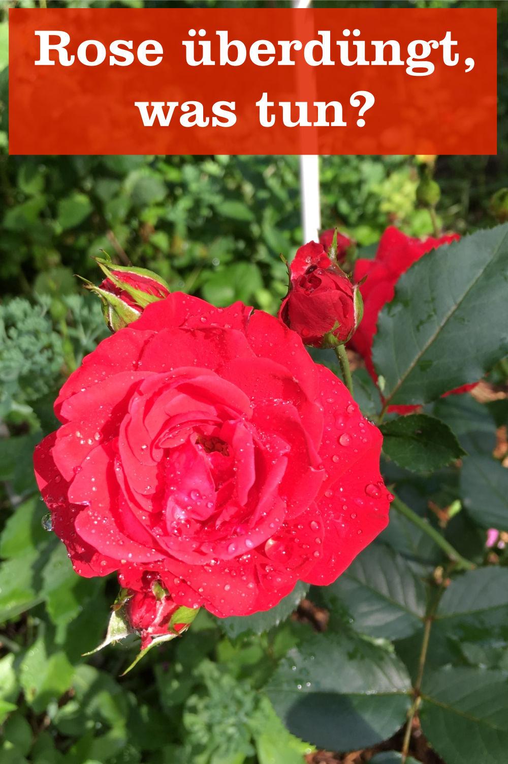 Rose überdüngt