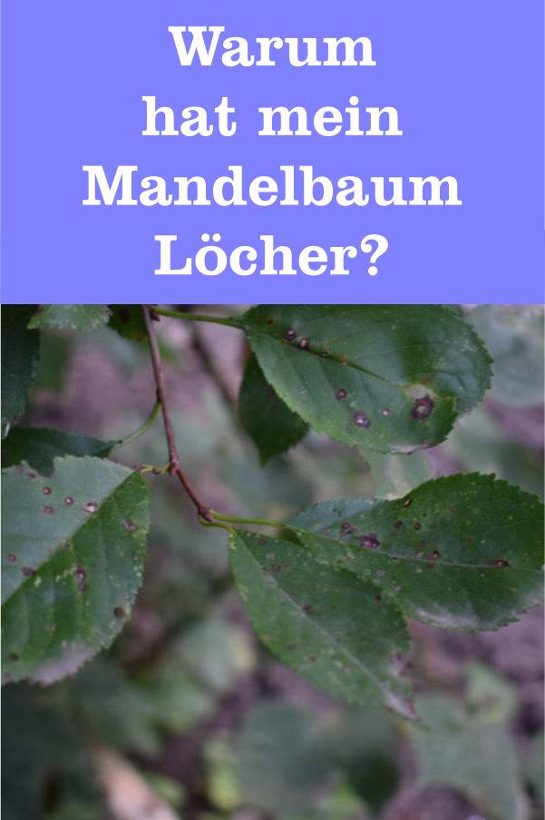 Mandelbaum Löcher