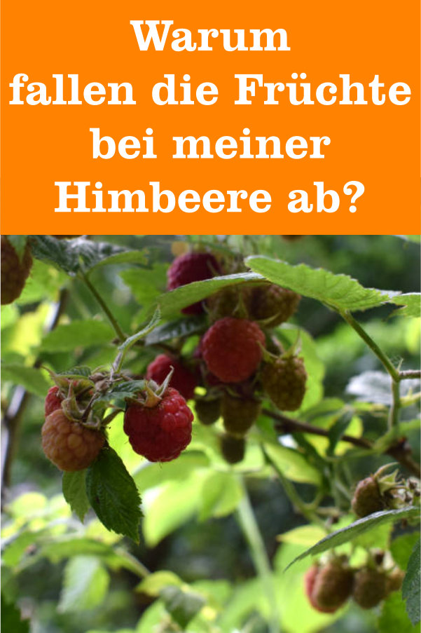 Himbeere Früchte fallen ab