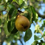Birnbaum Flecken